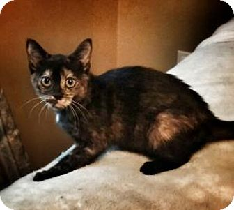 Domestic Shorthair Cat for adoption in Kettering, Ohio - Tilly