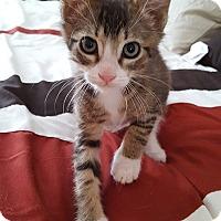 Adopt A Pet :: Pumpkin - Woodland Hills, CA