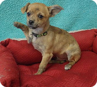 Chihuahua Mix Puppy for adoption in Quail Valley, California - Thriller