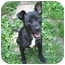 Photo 3 - Boston Terrier/Labrador Retriever Mix Dog for adoption in Huddleston, Virginia - Sammy