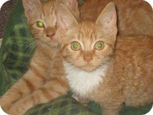 Bengal Kitten for adoption in bloomfield, New Jersey - Seamus & Niko