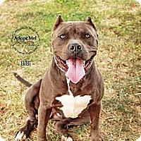 Adopt A Pet :: Bibi - Scottsdale, AZ