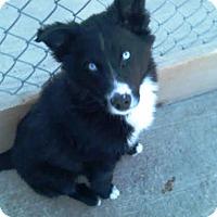 Adopt A Pet :: Hendricks - Kirkland, WA
