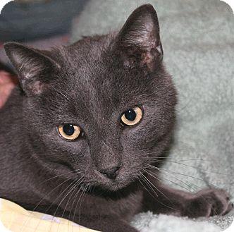 Harrisonburg, VA - Russian Blue. Meet Smog a Cat for Adoption.
