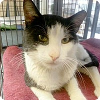 Domestic Shorthair Cat for adoption in Queens, New York - Junior