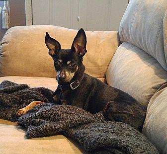 Miniature Pinscher Dog for adoption in Richmond, Kentucky - Tasha