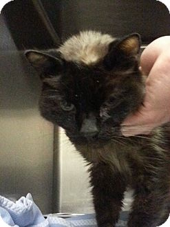 Domestic Mediumhair Kitten for adoption in Riverside, California - Nissan
