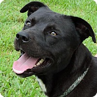 Pit Bull Terrier Mix Dog for adoption in Nashville, Indiana - Charlie