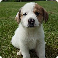 Adopt A Pet :: Leah - Elk River, MN