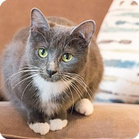 Russian Blue Cat for adoption in Chicago, Illinois - Shiloh