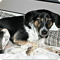 Adopt A Pet :: Butch Cassidy - Richland Hills, TX