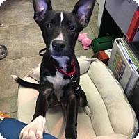 Adopt A Pet :: Corn Cob - Bradenton, FL