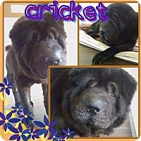 Adopt A Pet :: Cricket - Colmar, PA