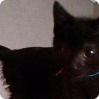 Adopt A Pet :: Kitten Berenger - Cumberland, ME
