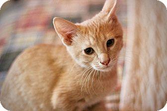 Domestic Shorthair Kitten for adoption in San Antonio, Texas - Sunny