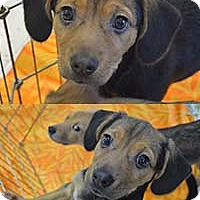 Adopt A Pet :: Ivy Pup Idelle - Chantilly, VA