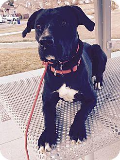 Labrador Retriever/Staffordshire Bull Terrier Mix Dog for adoption in Denver, Colorado - Lucy