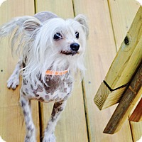 Chinese Crested Dog for adoption in Lebanon, Tennessee - Smiley