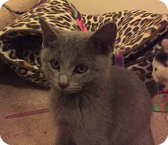 Domestic Shorthair Kitten for adoption in Gaithersburg, Maryland - Moonshine