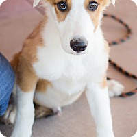 Adopt A Pet :: Huxley - Fort Collins, CO