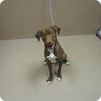 Adopt A Pet :: MOOSE - Reno, NV