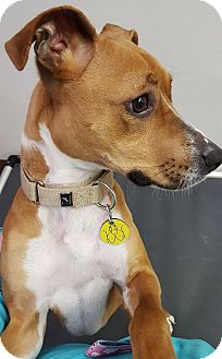 Basenji/Terrier (Unknown Type, Medium) Mix Dog for adoption in North Olmsted, Ohio - Sadie