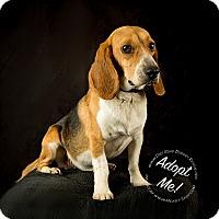 Adopt A Pet :: Beau - Gillsville, GA