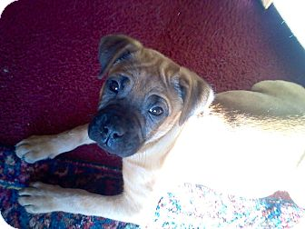 Boxer Mix Puppy for adoption in Millersville, Maryland - Mia
