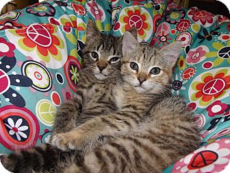 Domestic Mediumhair Kitten for adoption in Owosso, Michigan - Kovu and Kiara