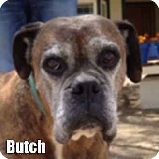 Boxer Dog for adoption in Encino, California - Butch