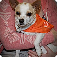 Adopt A Pet :: Mighty Mouse - Seattle, WA