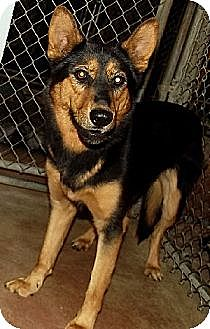 Shepherd (Unknown Type) Mix Dog for adoption in Savannah, Missouri - Zena