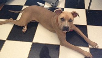 Staffordshire Bull Terrier Mix Dog for adoption in Red Bluff, California - Parker