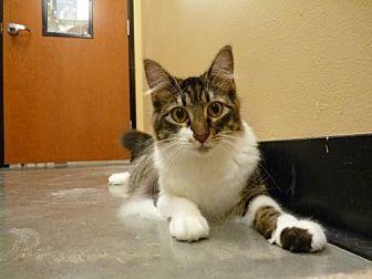 Domestic Mediumhair Cat for adoption in Capshaw, Alabama - Monroe