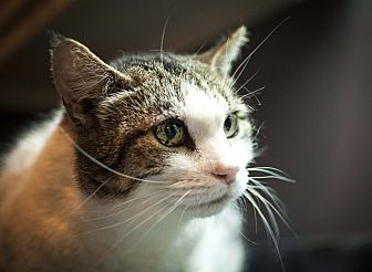 Domestic Shorthair Cat for adoption in Tanner, Alabama - Buddy