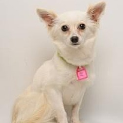 Photo 1 - Papillon/Pomeranian Mix Dog for adoption in Santa Cruz, California - Miss Tickle