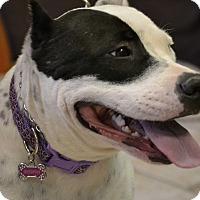 Staffordshire Bull Terrier Mix Dog for adoption in Higley, Arizona - MOMMA SASHA