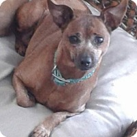 Miniature Pinscher/Italian Greyhound Mix Dog for adoption in Union Grove, Wisconsin - Mabel-FEE LOWERED