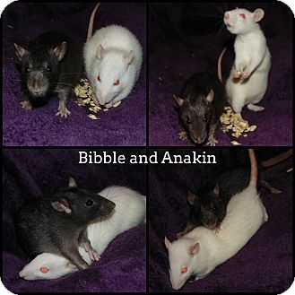 Rat for adoption in Belton, Texas - Bibble and Anakin