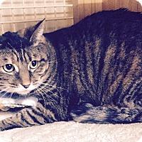 Adopt A Pet :: Tiger - Addison, IL