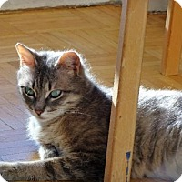 Domestic Shorthair Cat for adoption in Toronto, Ontario - Eve
