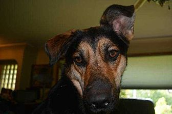 Shepherd (Unknown Type) Mix Dog for adoption in Lakewood, California - Rickie