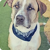 St. Bernard Mix Dog for adoption in Loxahatchee, Florida - Duke 885
