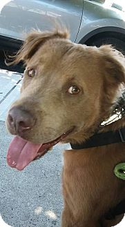 Retriever (Unknown Type) Mix Dog for adoption in Freeport, New York - Bear