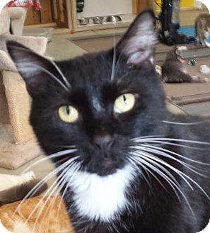 Domestic Mediumhair Cat for adoption in Colfax, Iowa - Sylvester