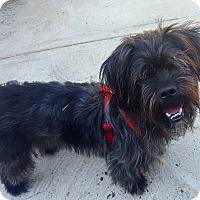 Adopt A Pet :: Spike - Bronx, NY