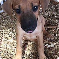Adopt A Pet :: Pete - PLAINFIELD, IN