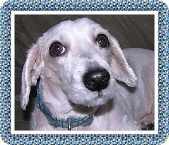 Bichon Frise Dog for adoption in Tulsa, Oklahoma - Pending!!Popper - IL