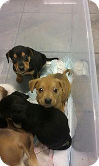 Shepherd (Unknown Type)/Husky Mix Puppy for adoption in Goldsboro, North Carolina - Tanner