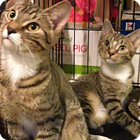Domestic Shorthair Cat for adoption in Whitestone, New York - sis n brother